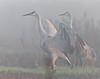 Sandhill Cranes and morning fog, October, Cosumnes River Preserve
