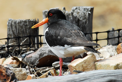 The oystercatcher is a large, stocky, black and white wading bird. It has a long, orange-red bill and reddish-pink legs. In flight, it shows a wide white wing-stripe, a black tail, and a white rump that extends as a 'V' between the wings. Because it eats cockles, the population is vulnerable if cockle beds are overexploited. Breeds on almost all UK coasts; over the last 50 years, more birds have started breeding inland. Most UK birds spend the winter on the coast; where they are joined on the east coast by birds from Norway.