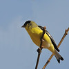 Lesser Goldfinch at Covington Park,Big Morongo,CA.