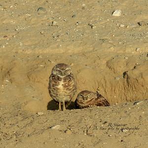 burrowing owls give me that eye.