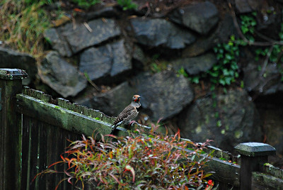 Red-shafted Northern Flicker Seattle, WA