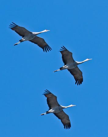 overhead trio of sandhill cranes