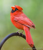 Cardinal male, Kerrville, Texas