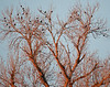 Sunset and roosting blackbirds