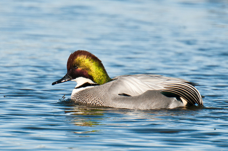Falcated Duck, Colusa NWR December 2011