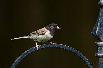 Oregon Junco (Junco hyemalis oreganus) is a genus of small grayish American sparrows. Юнко.