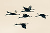 six sandhill cranes