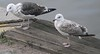 Great Black-backed and Herring Gulls<br /> Copenhagen