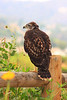 Young Red-Tail Hawk (Buteo jamaicensis)