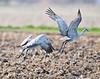 Take off, Sandhill Cranes