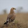 Tawny Eagle - Aquila rapax - Nairobi National Park