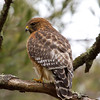 Red-shouldered Hawk, River St., Middleboro, MA