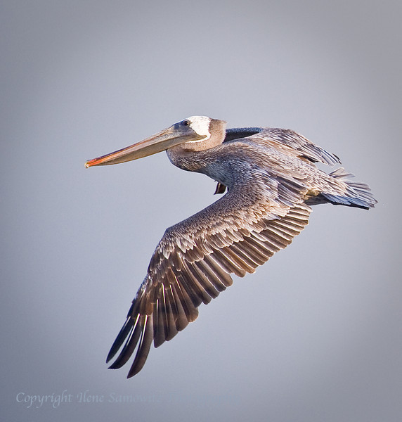 Brown Pelican in Flight<br /> Necanicum Estuary, Oregon Coast