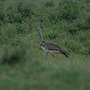 Kori Bustard - Ardeotis kori.  Heaviest bird capable of flight in Africa.