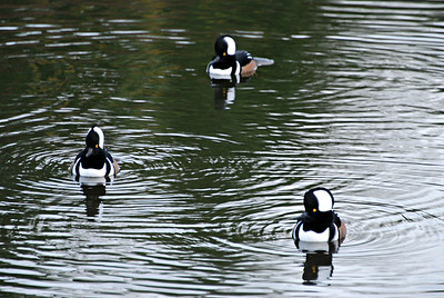 Male Hooded Mergansers, Seattle