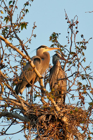 Nesting Great Blue Herons, Lower Yuba River