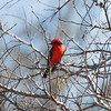 Red and black songbird perching on small tree limb
