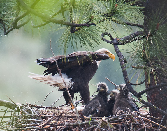 Three eaglets and adult in the rain