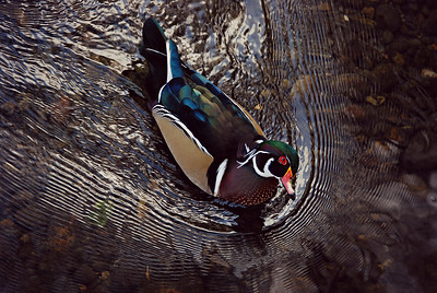 Male Wood Duck, Seattle 2013