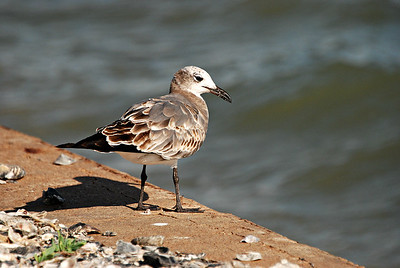 Juvenile Laughing Gull, Rockport TX