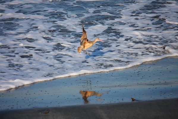 Marbled Godwit Landing (Limosa fedoa)
