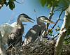 Three young great blue herons in nest