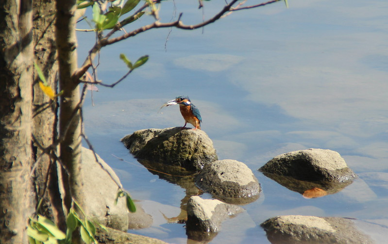 Common Kingfisher from Mui Wo with a catch