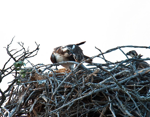 Feeding time, two osprey chicks and female adult
