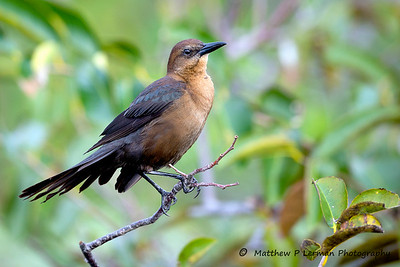 Female Boat-tailed Grackle   #906