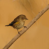 Yellow-rumped Warbler at Coachella Wildlife Preserve