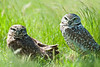 a pair of burrowing owls
