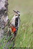 Great Spotted Woodpecker on Silver Birch