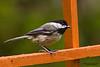Black-capped Chickadee (Poecile atricapillus).  The Black-capped Chickadee (Poecile atricapillus) is a small, common songbird, a passerine bird in the tit family Paridae.  Черношапочная гаичка