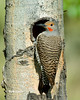 Northern Flicker Red-shafted Male_ BGP1580