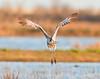 takeoff, sandhill crane