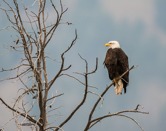 Bald Eagle, Lamar Valley