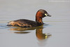 Little grebe in  Summer plumage