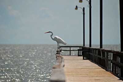 Great Egret, Goose Island State Park, Rockport TX