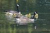 Family of adult Canada geese and goslings swimming in a lake.