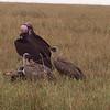 Lappet Faced & Cape Griffon Vultures