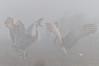 dances with cranes, morning fog at Cosumnes River Preserve