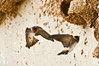 Two cliff swallows returning to the mud nest