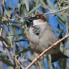 House Sparrow at Covington Park right next to Big Morongo,CA.