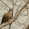 Black spotted dove