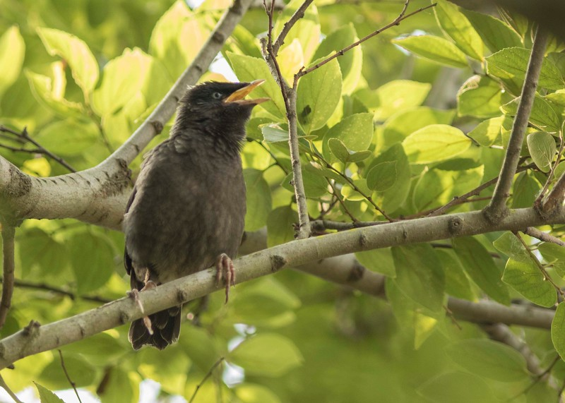 Young Myna calling parents