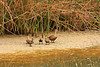 Mallard With Chicks At San Elijo Lagoon (Anatidate)