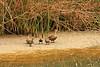 Mallard With Chicks At San Elijo Lagoon (Anatidate)