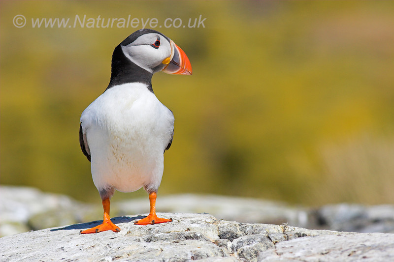 Atlantic Puffin, Farnes Islands, UK
