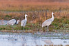 Sandhill cranes at dawn, Cosumnes River Preserve