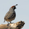 Gambel's Quail at Joshua Tree National Park